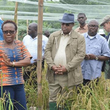 Gabon : première  récolte de riz réussie !